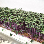 Microgreens - Rödkål / Red Cabbage